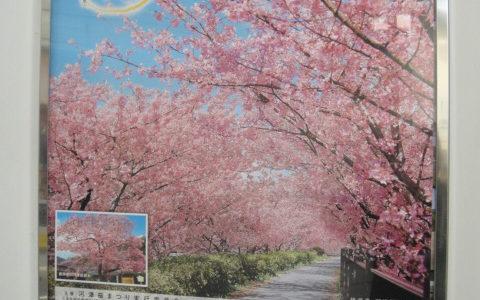伊豆の河津桜まつりの看板